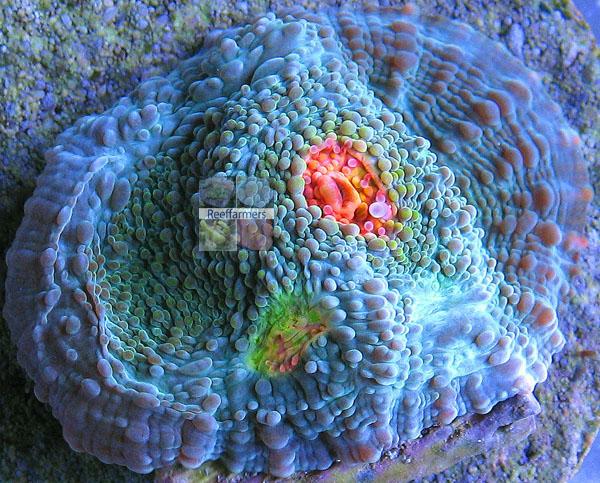 Miami Hurricane Coral Miami Hurricane Echinophyllia